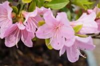 Japanische Azalee Blanice • Rhododendron Blanice