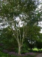 Himalayabirke • Betula jacquemontii
