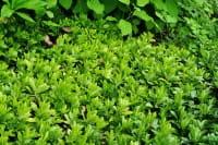 Schattengrün Green Carpet • Pachysandra terminalis Green Carpet