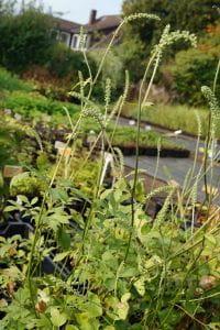 Garten Oktober Silberkerze White Pearl • Cimicifuga simplex White Pearl