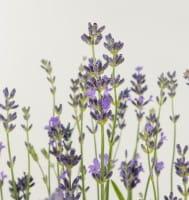 Lavendel Munstead • Lavandula angustifolia Munstead