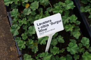 Garten-Busch-Malve Burgundy Wine • Lavatera x olbia Burgundy Wine