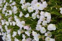 Garten-Nachtkerze Siskiyou • Oenothera speciosa Siskiyou