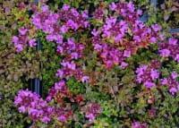 Garten Thymian Coccineus • Thymus serpyllum Coccineus