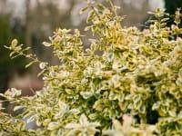 Gold-grüner Spindelstrauch • Euonymus fortunei Emerald Gold