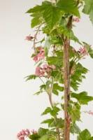 Zierjohannisbeere Pulborough Scarlet • Ribes sanguineum Pulborough Scarlet