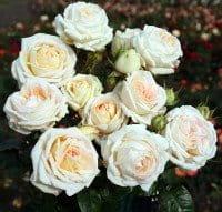 Parfuma Duftrose Madame Anisette • Rosa Madame Anisette