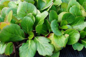 Bergenie Biedermeier • Bergenia cordifolia Biedermeier