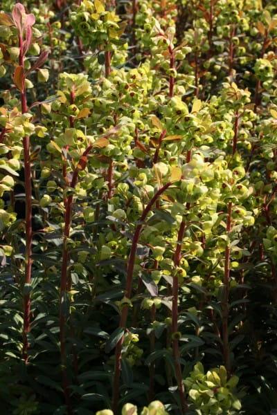 Wolfsmilch • Euphorbia martinii