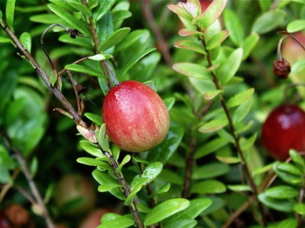 Cranberry • Vaccinium macrocarpon