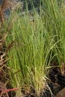 Garten-Pampasgras Rosea • Cortaderia selloana Rosea