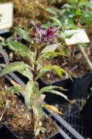 Hohe Garten-Flammenblume Amethyst • Phlox paniculata Amethyst