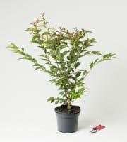 Kurilenkirsche Brilliant • Prunus kurilensis (nipponica) Brilliant