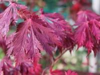 Japanischer Feuerahorn • Acer japonicum Aconitifolium