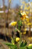 Gefüllter Ranunkelstrauch • Kerria japonica Pleniflora