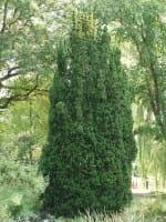 Säulen-Eibe • Taxus baccata Fastigiata