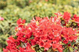scharlachroter Zwerg-Rhododendron • Rhododendron repens Baden-Baden