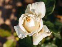 Edelrose Irina® - Rosa Irina - floranza®