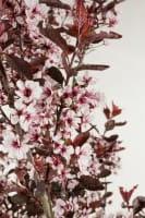 Zwerg-Blutpflaume • Prunus cistena