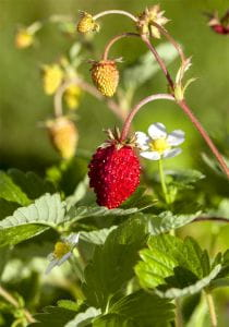 Wald-Erdbeere • Fragaria vesca