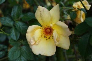 Rose Maigold • Rosa Maigold