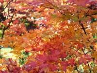Fächerahorn Orange Dream • Acer palmatum Orange Dream
