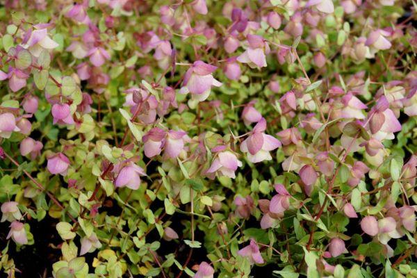 Rundblättriger Garten-Dost Kent Beauty • Origanum rotundifolium Kent Beauty