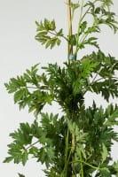 Brombeere Oregon Thornless • Rubus fruticosus Oregon Thornless