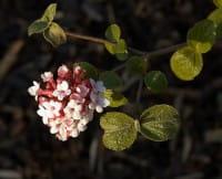 Koreanischer Schneeball • Viburnum carlesii