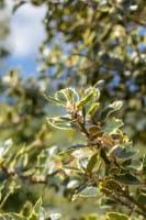 Gelbbunte Stechpalme Rubricaulis Aurea • Ilex aquifolium Rubricaulis Aurea