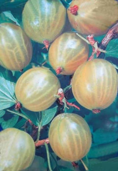 Stachelbeere Mucurines • Ribes uva-crispa Mucurines