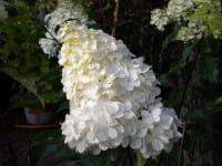 Rispenhortensie Vanille Fraise® • Hydrangea paniculata Vanille Fraise