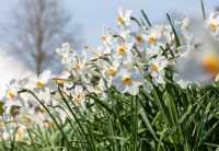 Dichternarzisse • Narcissus poeticus