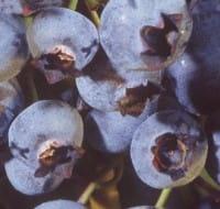 Kulturheidelbeere Hardyblue • Vaccinium corymbosum Hardyblue
