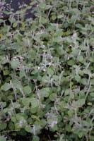 Kleinblütige Garten Bergminze • Calamintha nepeta Blue Cloud