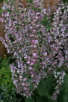 Muskateller-Salbei • Salvia sclarea