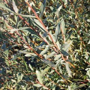 Purpurweide • Salix purpurea