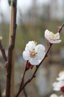 Rotaprikose Ungarische Beste • Prunus armeniaca Ungarische Beste