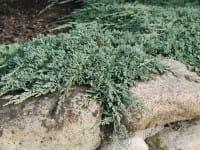 Teppich- wacholder Icee Blue • Juniperus horizontalis Icee Blue
