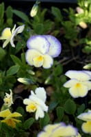 Gehörntes Stiefmütterchen Etain • Viola cornuta Etain