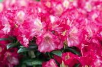Rhododendron Priscilla • Rhododendron yakushimanum Priscilla