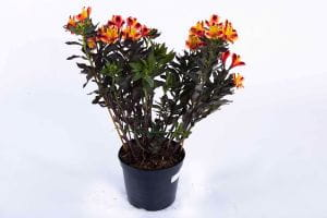 Garten-Inkalilie Indian Summer • Alstroemeria x cult. Indian Summer