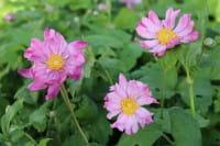 Garten-Herbst-Anemone • Anemone japonica Prinz Heinrich
