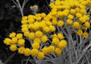 Garten-Strohblume Schwefelicht • Helichrysum thianshanicum Schwefellicht