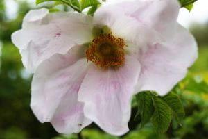 Rose micrugosa • Rosa micrugosa