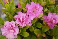 Rhododendron obtusum Marinja • Japanische Azalee Marinja