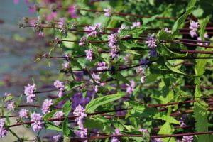 Garten-Knollen-Brandkraut - Phlomis tuberosa 'Amazone'
