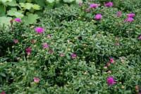 Garten-Kissen-Aster Jenny • Aster dumosus Jenny