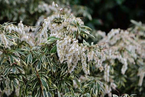 Weißbuntes Schattenglöckchen • Pieris japonica Variegata