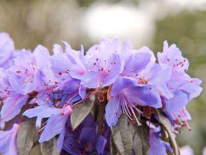 Rhododendron Gletschernacht • Rhododendron russatum Gletschernacht